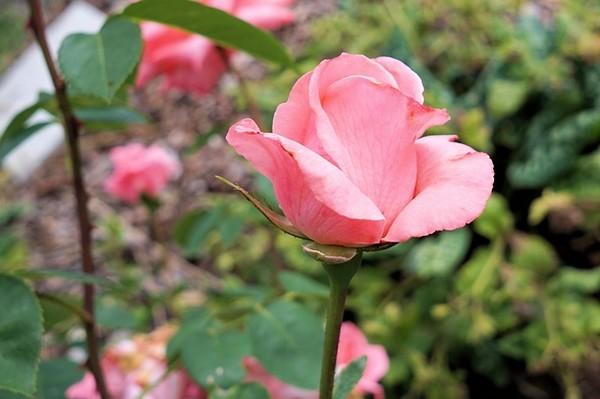 Rosen auf der Lifstylemesse